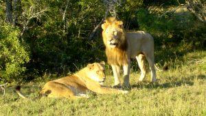 mating-lions-ngala