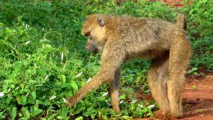 tsavo-baboons