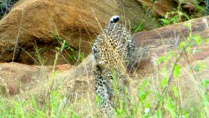 tsavo-leopard