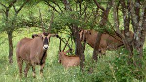 tsavo-oryx-2