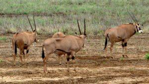tsavo-oryx