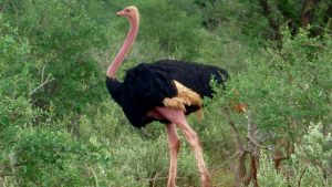 tsavo-ostrich-2